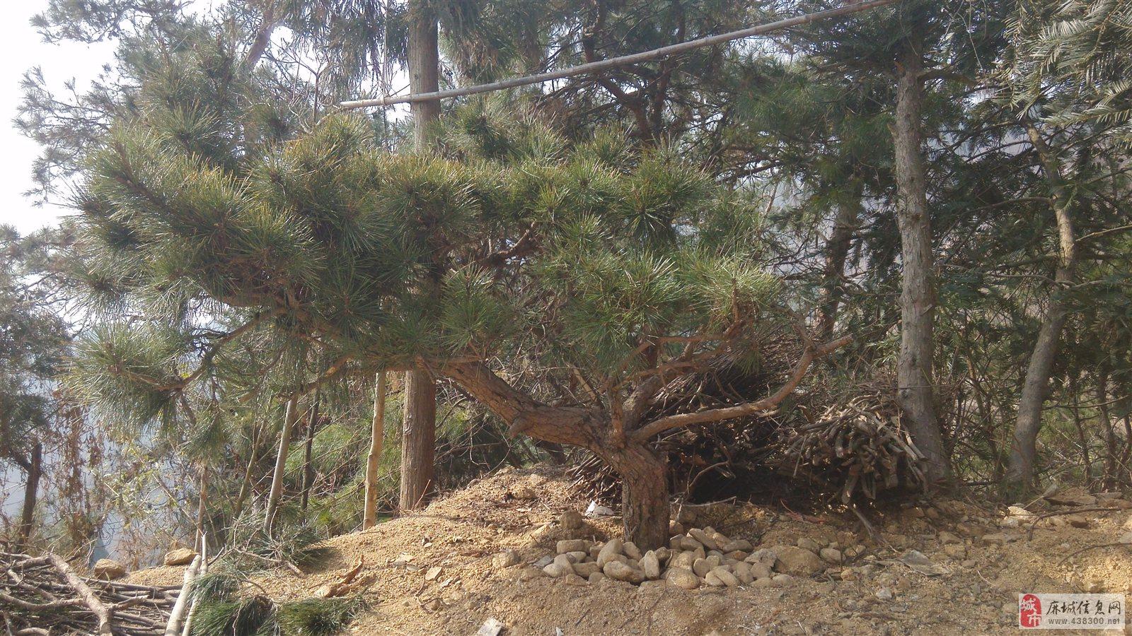 自然奇观林木