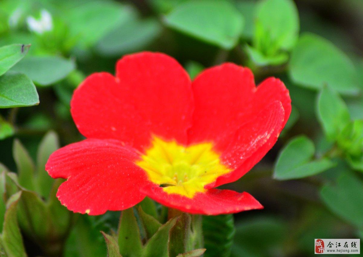 """春天里——""""原来是一朵美丽的蝴蝶花"""""""