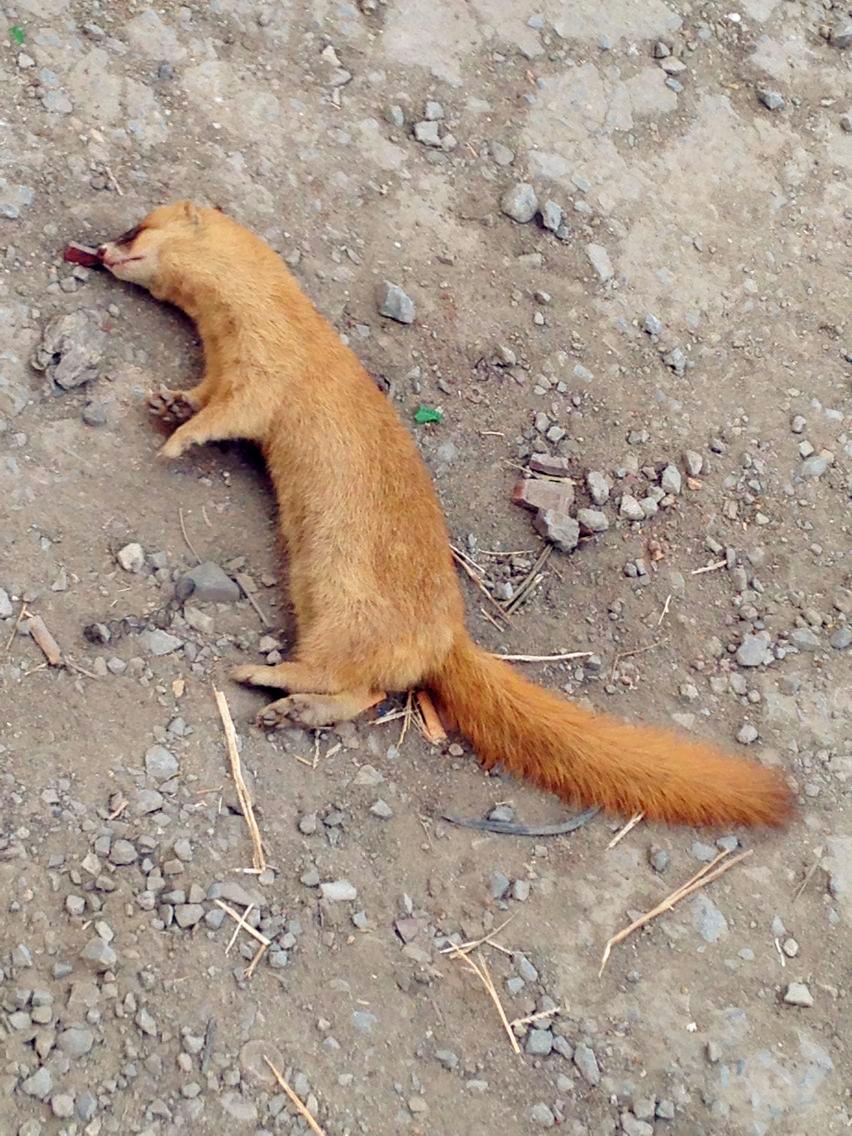建设大街的野生保护动物死亡