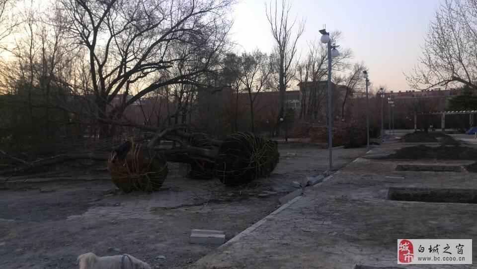 【微信爆料】——白城市劳动公园新引进数十株景观树