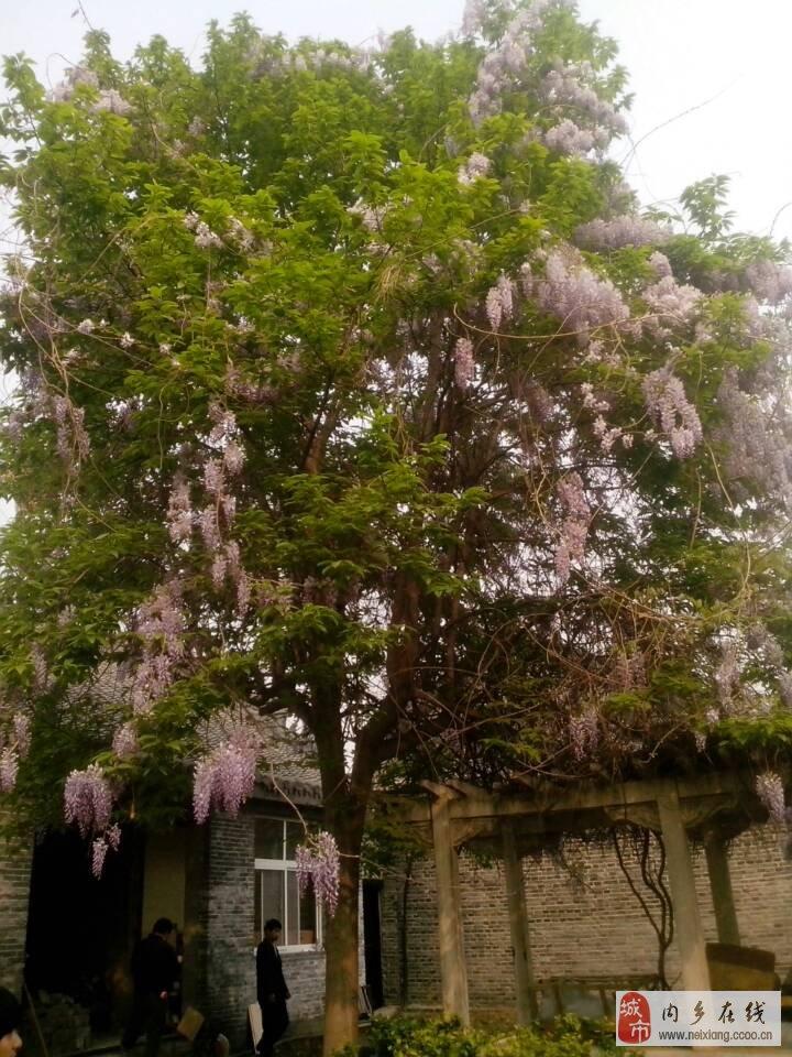 内乡县衙花园里的树上爬满了藤,藤上又开花.