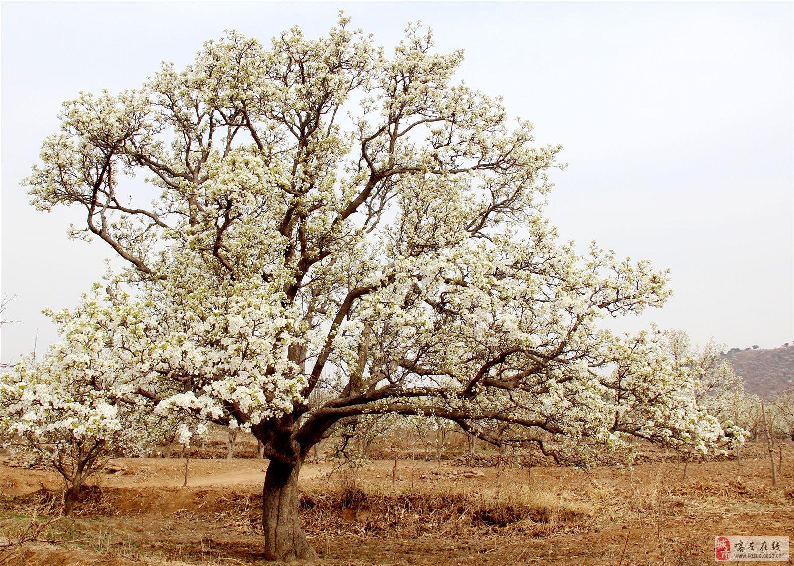 梨花树ps素材