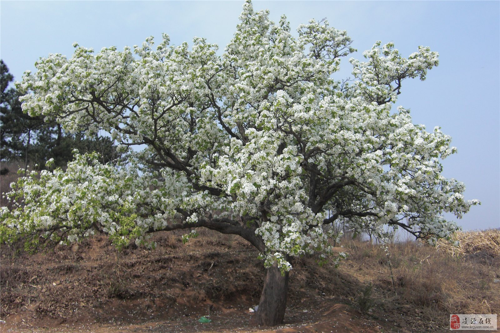 梨花树psd素材