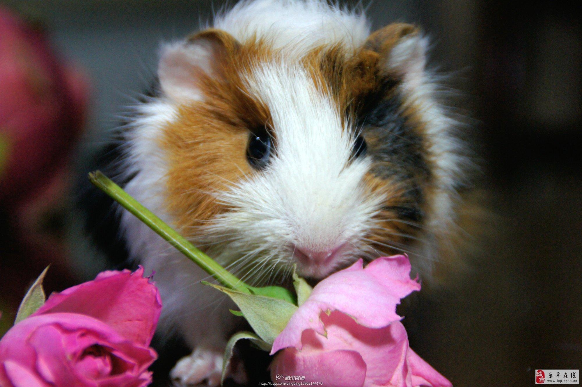 我家刚满月的小豚鼠,好可爱的哦