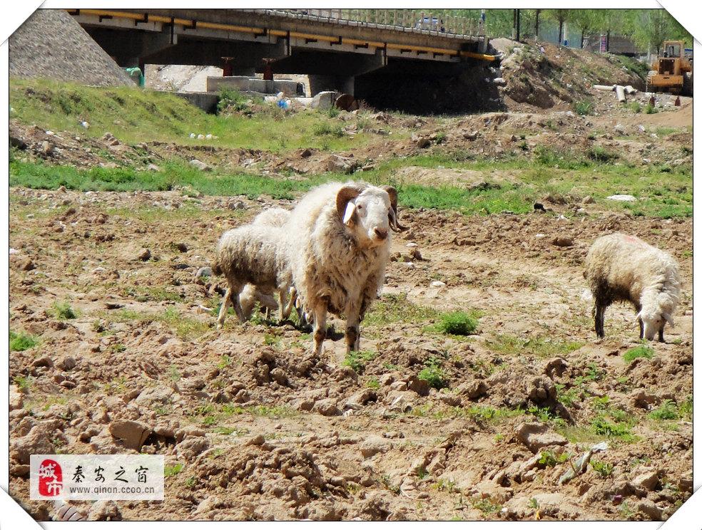 秦安葫芦河畔随拍羊、羊群、领头羊-摄影