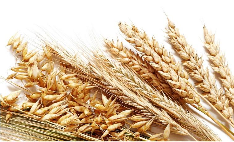麦子成熟的记忆-莱阳百姓话题