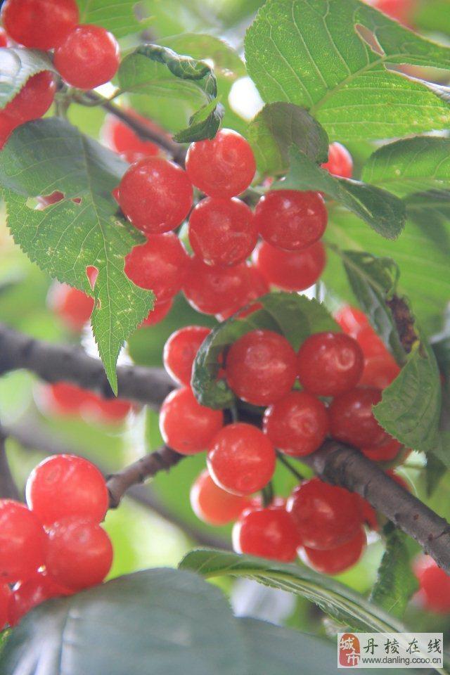 咱大丹棱的栽秧泡儿和樱桃您吃了没?