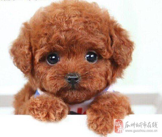 1 宠物-泰迪犬