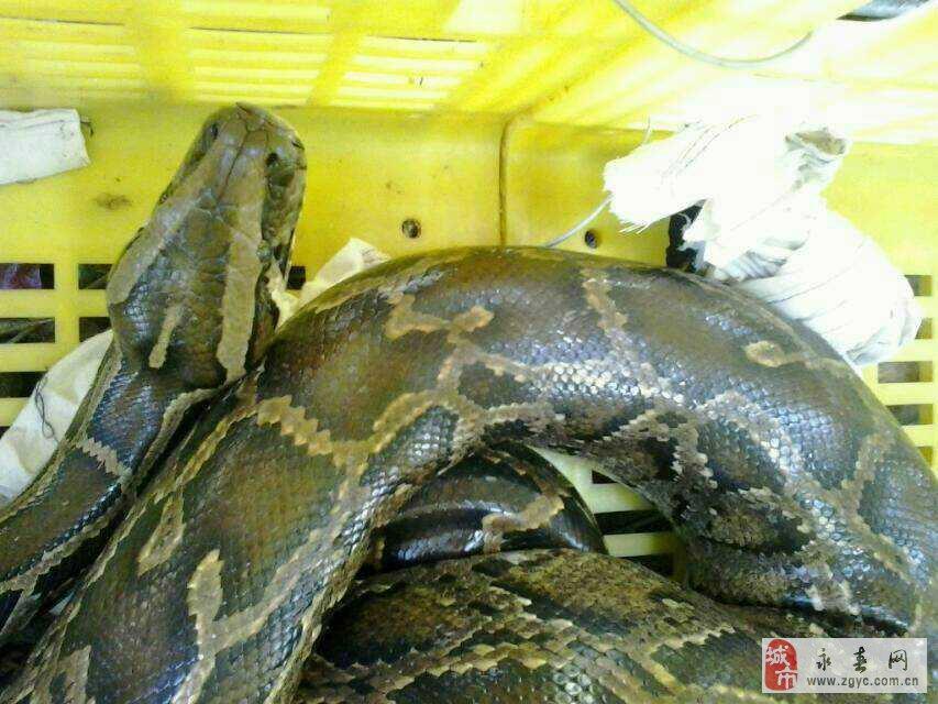蟒蛇是国家一级保护野生动物