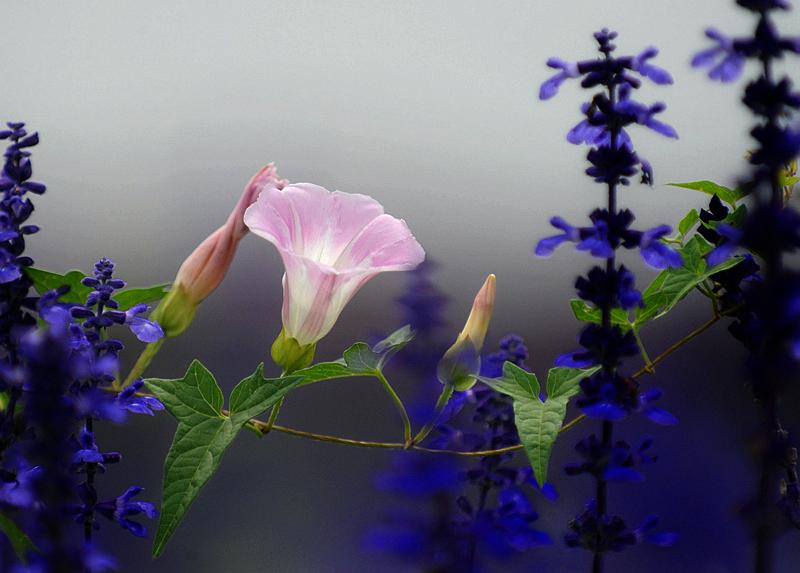 紫色_小鸟也喜爱……