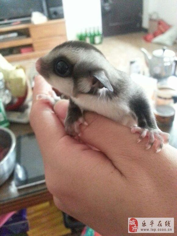 爆照刚刚出生的小蜜袋鼯宝宝