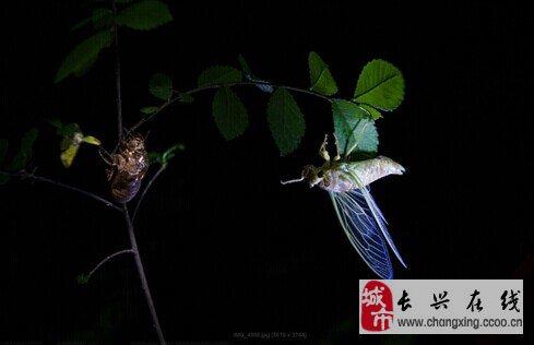 蝉的身体结构示意图