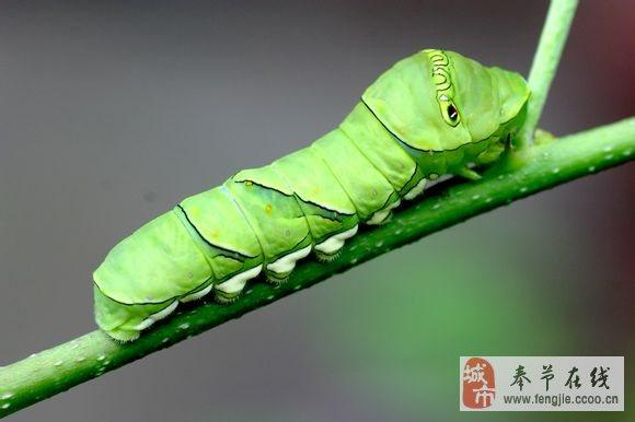 龙眼树上的虫子叫什么展示