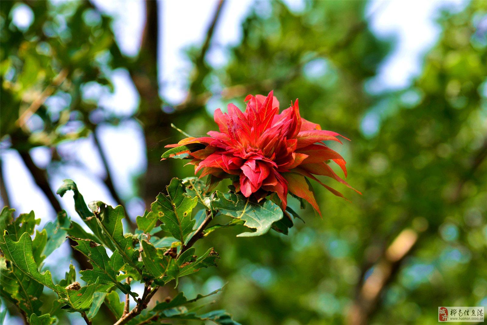 今天去野外拍片时突然发现一棵柞树枝上有一个红的东西开始以为是叶红了.走近一看是-朵花,当时很惊奇.柞树怎么能开花呢? 我从小就生长在林区.从事林业工作近40年从来沒见过柞树开花,真是太神奇了.赶紧拍了下来,回来让都是从事林业工作的同事看都说从来沒见过柞树开花。我把这张图片发上来请大家欣赏,也请从事林业工作的同行们多留意.
