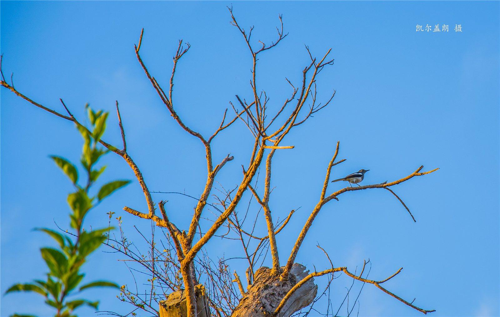 枯树·昏鸦
