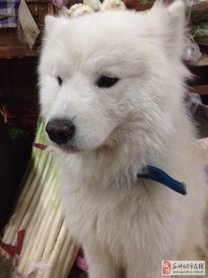 寻狗启示: 本人的萨摩耶狗狗是在广盛源边上走丢了