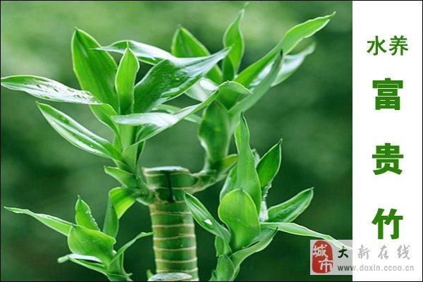 富贵竹水养方法及图片欣赏