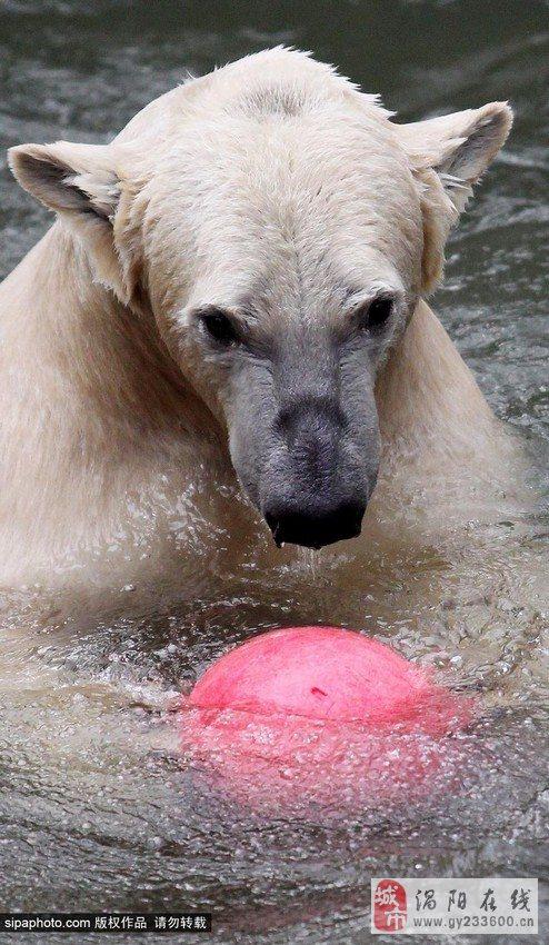 捷克北极熊生日玩球 呆萌可爱