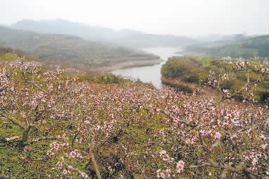 家里种了几棵桃树,村里大部分人家都种桃树