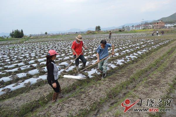 【富民产业】铅山把红芽芋做成富民产业