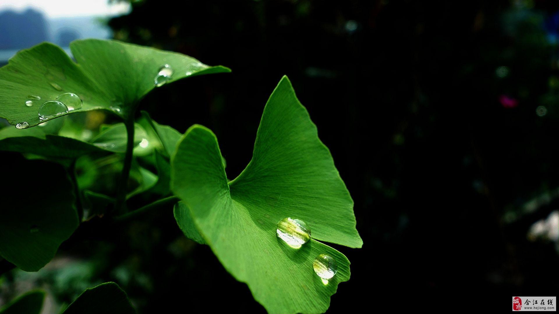 春雨后的银杏叶