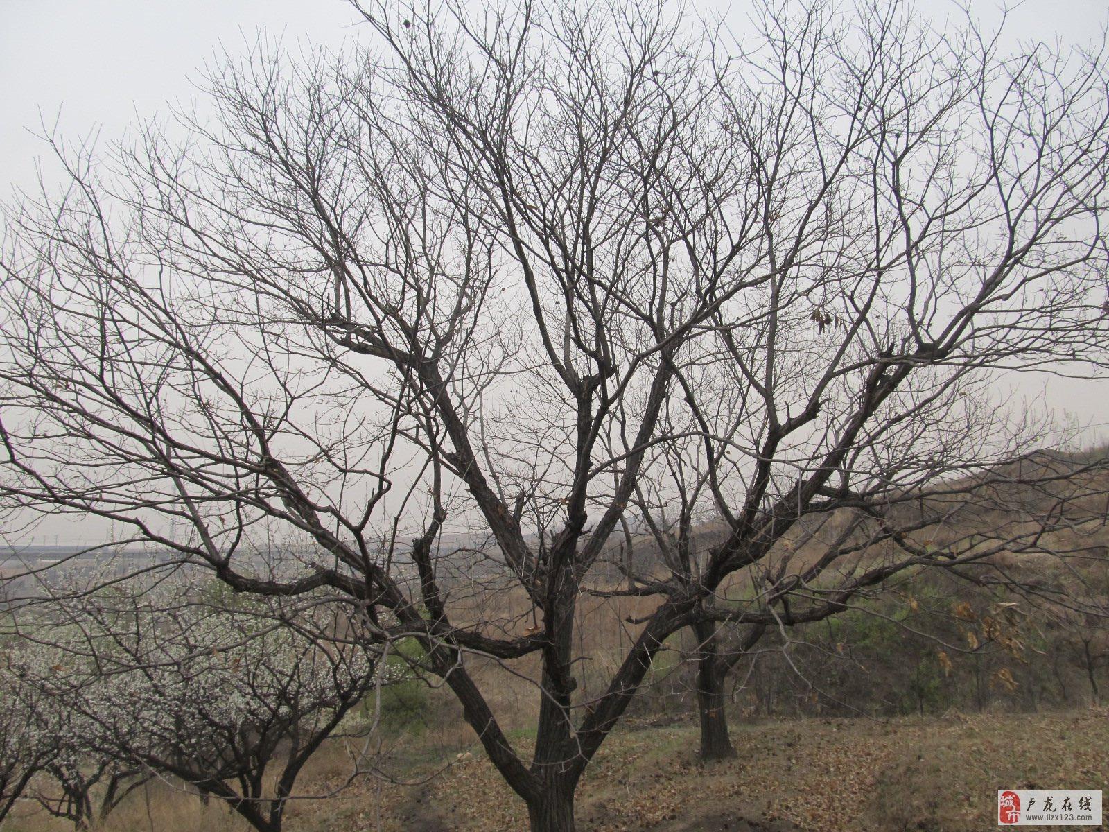 板栗树剪枝法图解