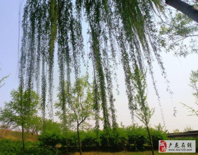 [大赛投稿]孤竹公园柳瀑