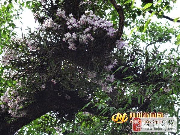 奇观——百年水梨树开出吊兰花