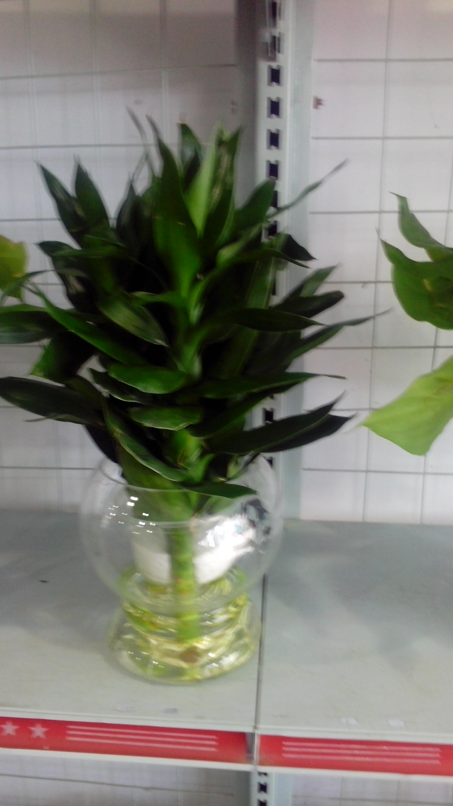 绿萝土栽怎么换到水培