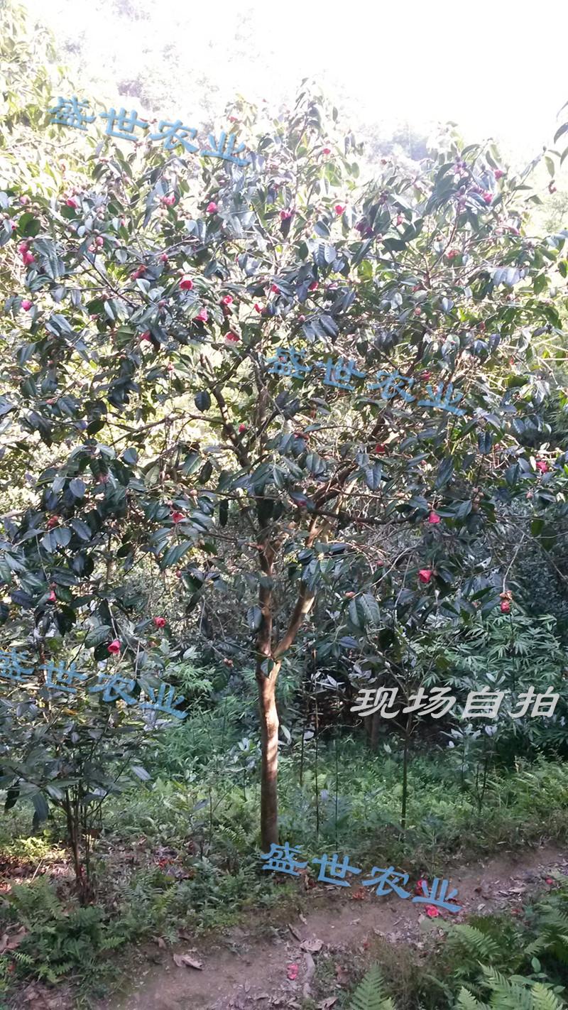大规格高产大果红花油茶树