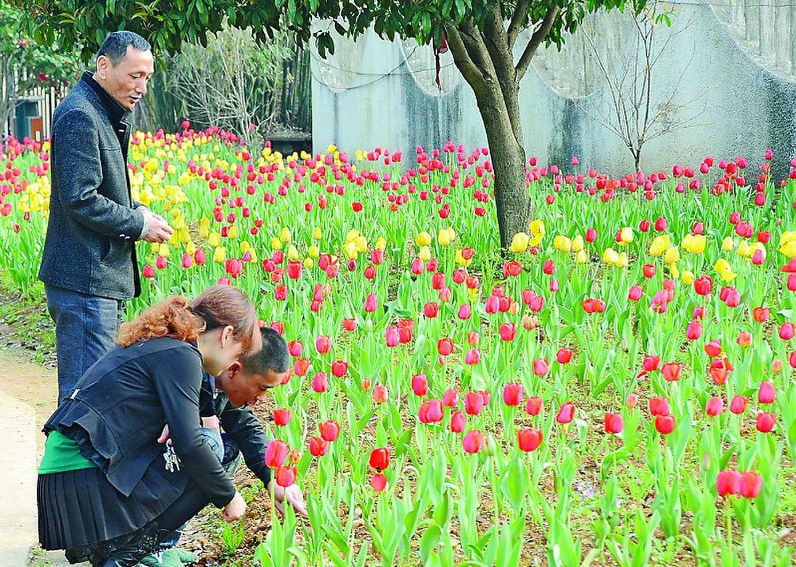植物园里郁金香和茶花都开了_益阳热点资讯