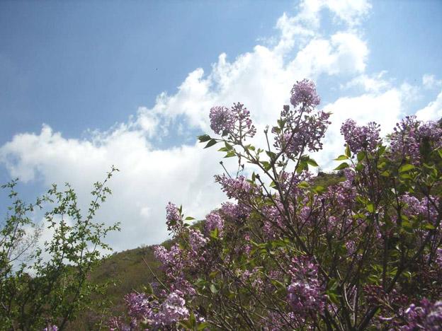 看 建平榆树林子留沟丁香花 漫山遍野绽放