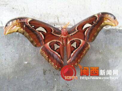"""连城惊现罕见国家级保护动物""""蛇头蝶"""""""