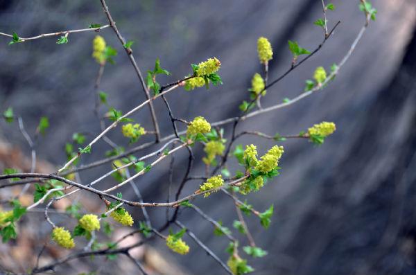 武安首次发现国家二级保护植物