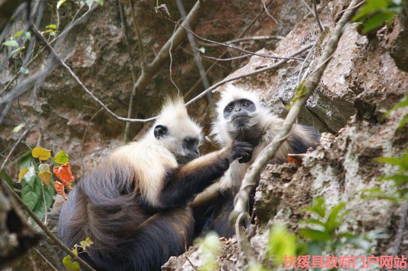 岜盆乡九重山白头叶猴自然保护区