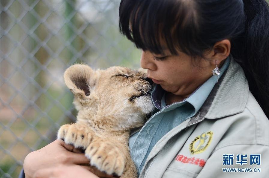 女孩带大狮子和老虎