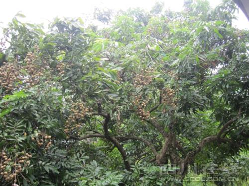 記者從瀘州市江陽區張壩桂圓林風景區了解到