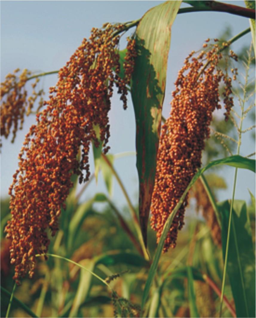 高粱施用有机肥的技术