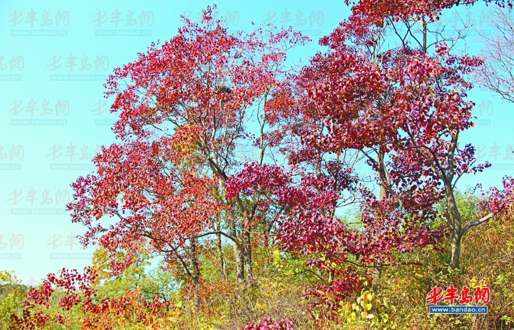 乌桕树的叶子绯红似火。 巾子峰头乌桕树,微霜未落已先红。这句出自宋朝诗人林和清的诗词,描绘的是深秋时节美丽的乌桕树。乌桕树本是南方地区一种观赏树,却在即墨东部的笔架山系发现大片乌桕树群落,眼下大片树叶开始泛红,成为山林中一道美丽风景。据林业专家初步鉴定 ,其中10余棵乌桕树树龄超过百岁,在省内较为少见,下一步即墨将进行保护。 10月28日上午,记者跟随即墨林业局工作人员来到田横岛省级旅游度假区笔架山脚下,远远朝山上望去,半山腰上一片片的红色十分夺目,顺着山路步行大约五分钟,一大片独具风姿的乌桕树映入眼
