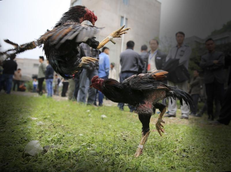 """吴德昌拍摄的""""体育,动物组""""的铜奖作品《斗鸡》."""