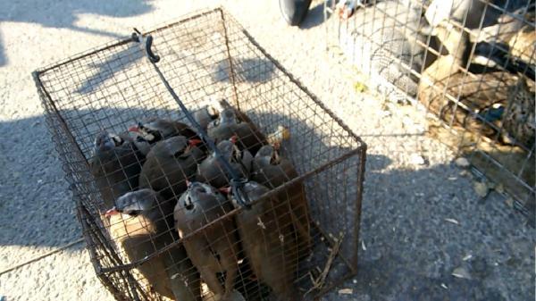 笼子里装着国家二级保护动物