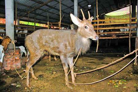 野生梅花鹿是国家一级保护动物
