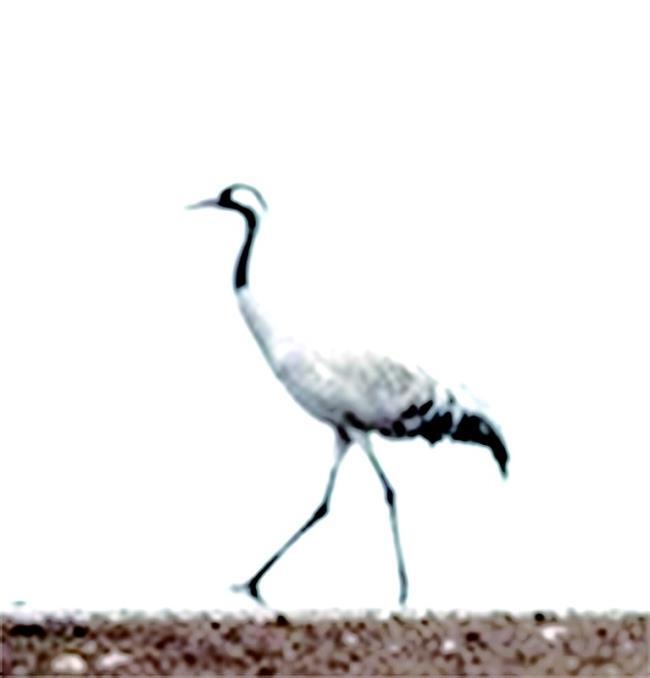 白头鹤等一级保护动物陆续现身
