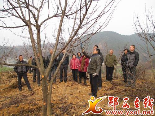 为其种植的樱桃树进行果树冬季整形修剪.