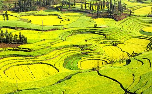 新洲双柳街等地金灿灿的油菜花沿道路两旁漫山遍野,一幅丘陵地貌的
