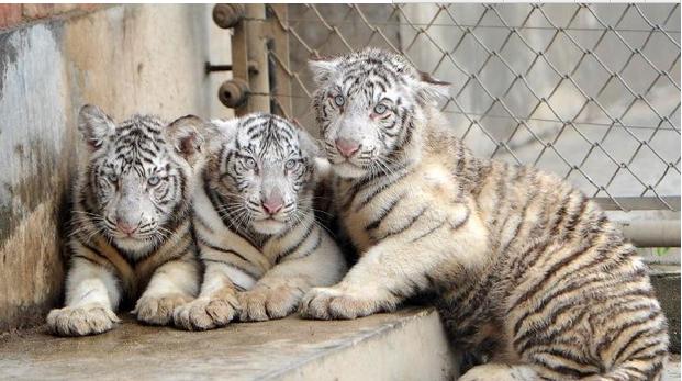 """西安秦岭野生动物园白虎""""乐乐""""繁殖的三胞胎"""