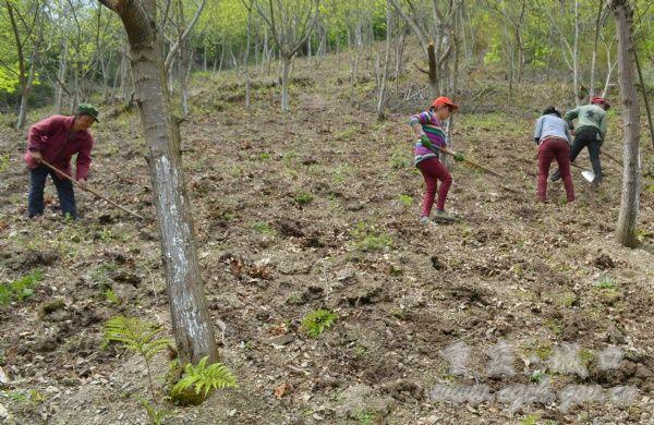 板栗树下种魔芋 生态经济双丰收