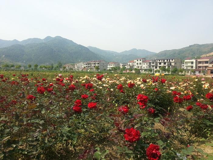 黄梅柳林玫瑰谷生态旅游风景区玫瑰园盛大开园