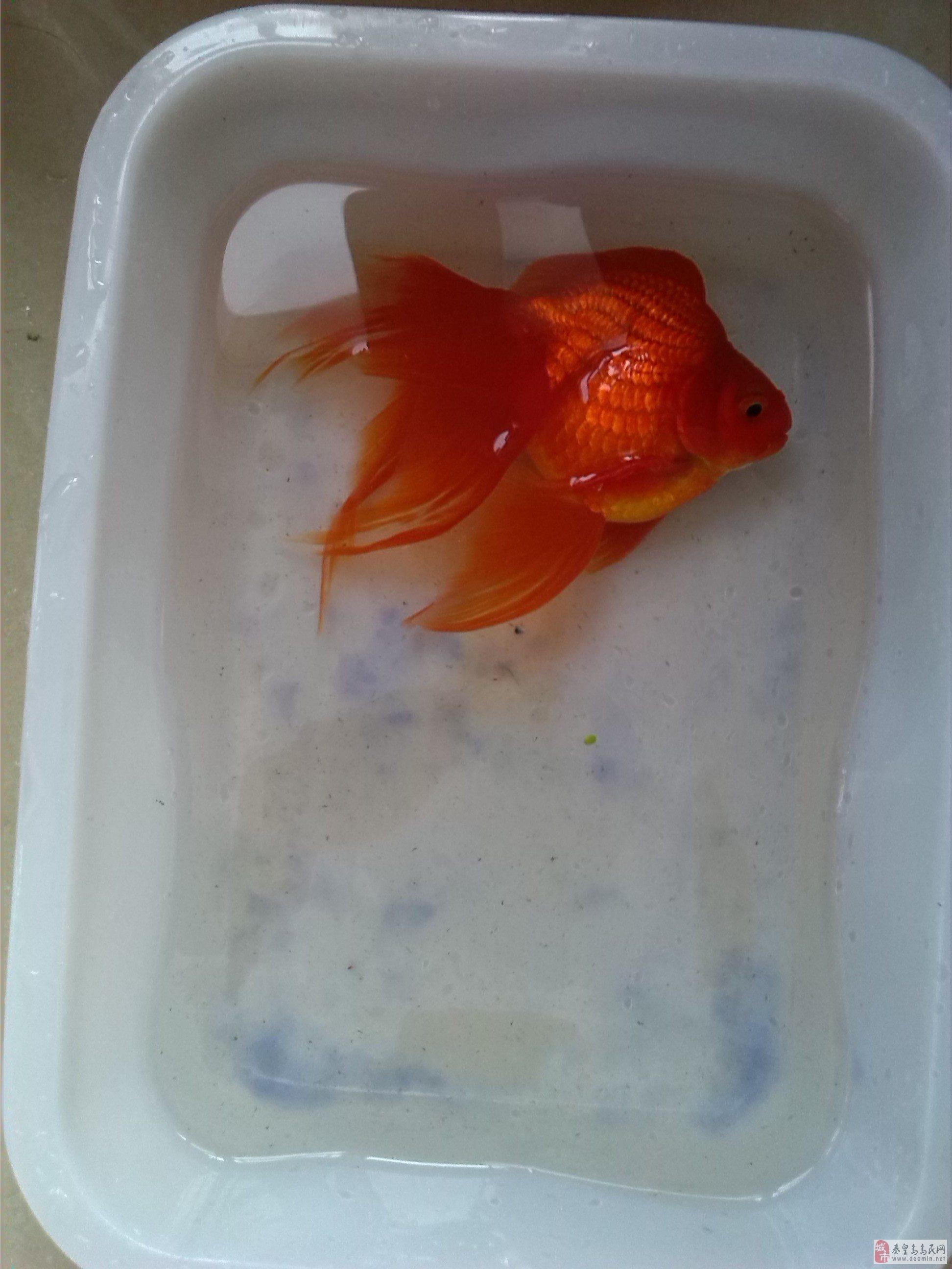 出售自己养的金鱼和凤尾