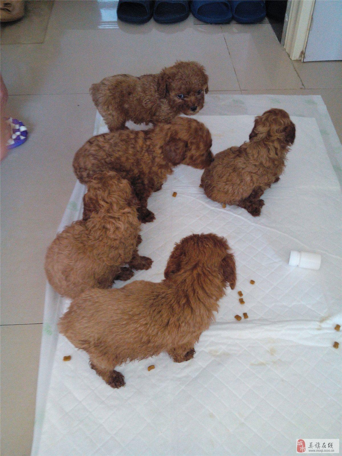 五冃天_我家养了只小泰迪狗,一个多月该打啥预防针呢小泰迪,刚出生五十天该打